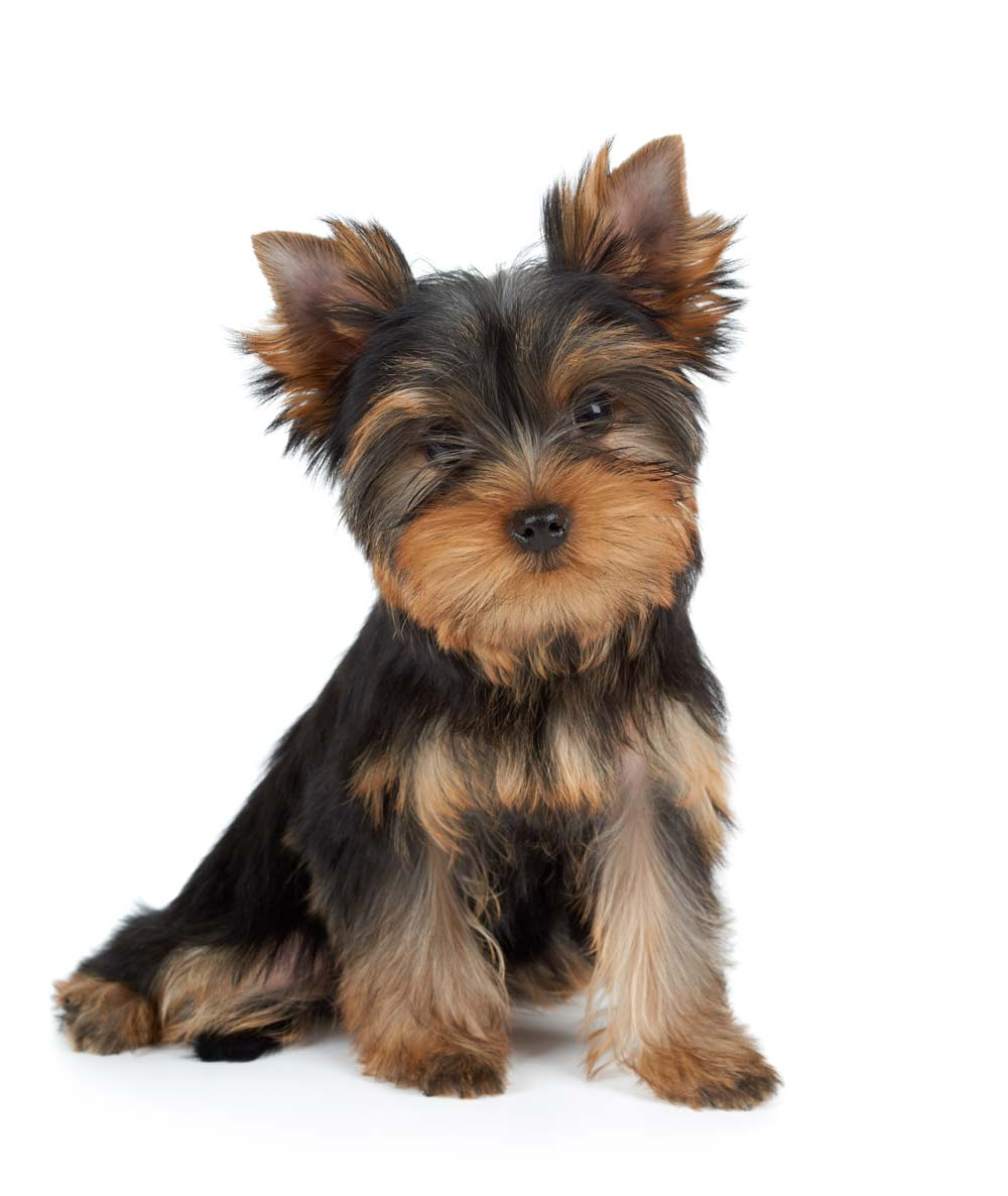 From Family to Family - Yorkshire Terrier