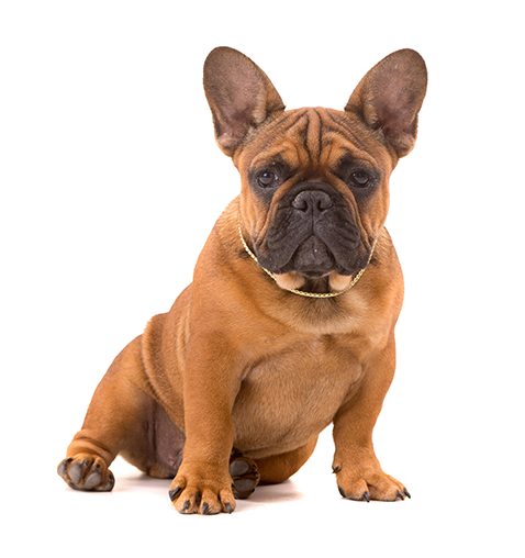 from family to family french bulldog